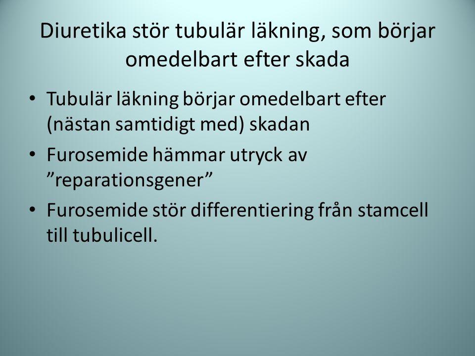 Diuretika stör tubulär läkning, som börjar omedelbart efter skada Tubulär läkning börjar omedelbart efter (nästan samtidigt med) skadan Furosemide häm