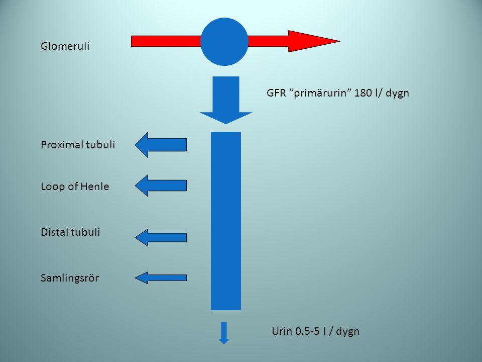 "Glomeruli Proximal tubuli Loop of Henle Distal tubuli Samlingsrör GFR ""primärurin"" 180 l/ dygn Urin 0.5-5 l / dygn"