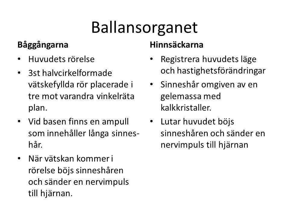 Ballansorganet Båggångarna Huvudets rörelse 3st halvcirkelformade vätskefyllda rör placerade i tre mot varandra vinkelräta plan. Vid basen finns en am