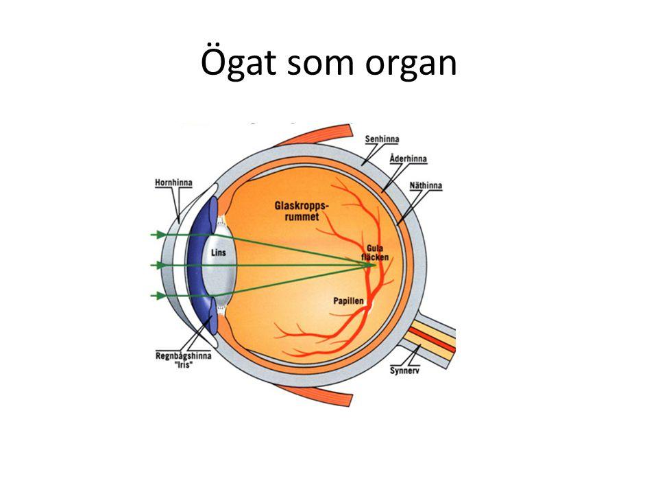 Hur ser vi.1 Ljuset passerar in genom vår pupill.