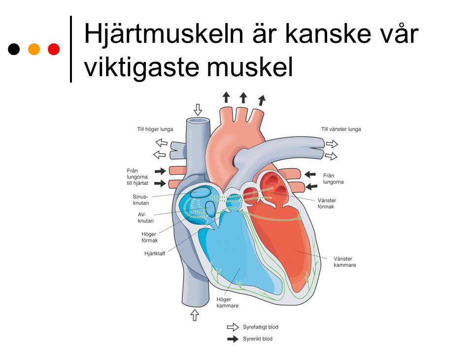 Hjärtmuskeln är kanske vår viktigaste muskel