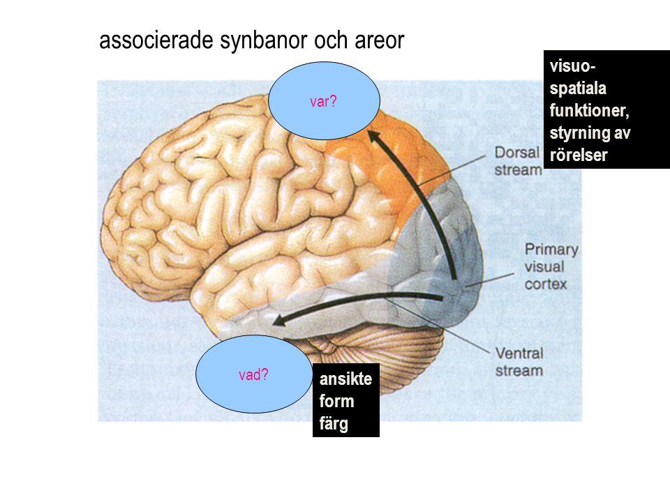 associerade synbanor och areor visuo- spatiala funktioner, styrning av rörelser ansikte form färg var.