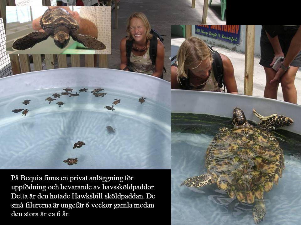 På Bequia finns en privat anläggning för uppfödning och bevarande av havssköldpaddor. Detta är den hotade Hawksbill sköldpaddan. De små filurerna är u