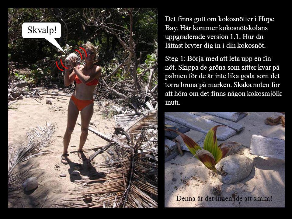 Skvalp! Det finns gott om kokosnötter i Hope Bay. Här kommer kokosnötskolans uppgraderade version 1.1. Hur du lättast bryter dig in i din kokosnöt. St