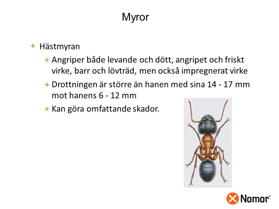 Myror + Hästmyran +Angriper både levande och dött, angripet och friskt virke, barr och lövträd, men också impregnerat virke +Drottningen är större än hanen med sina 14 - 17 mm mot hanens 6 - 12 mm +Kan göra omfattande skador.