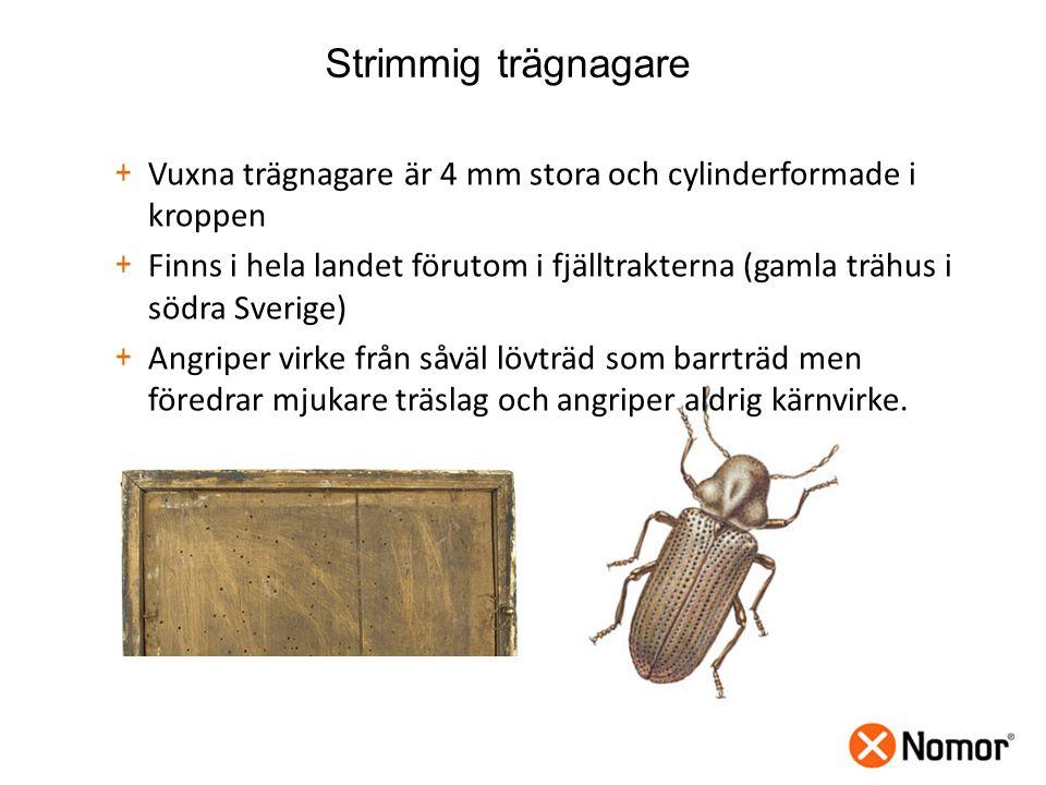 Strimmig trägnagare + Vuxna trägnagare är 4 mm stora och cylinderformade i kroppen + Finns i hela landet förutom i fjälltrakterna (gamla trähus i södra Sverige) + Angriper virke från såväl lövträd som barrträd men föredrar mjukare träslag och angriper aldrig kärnvirke.