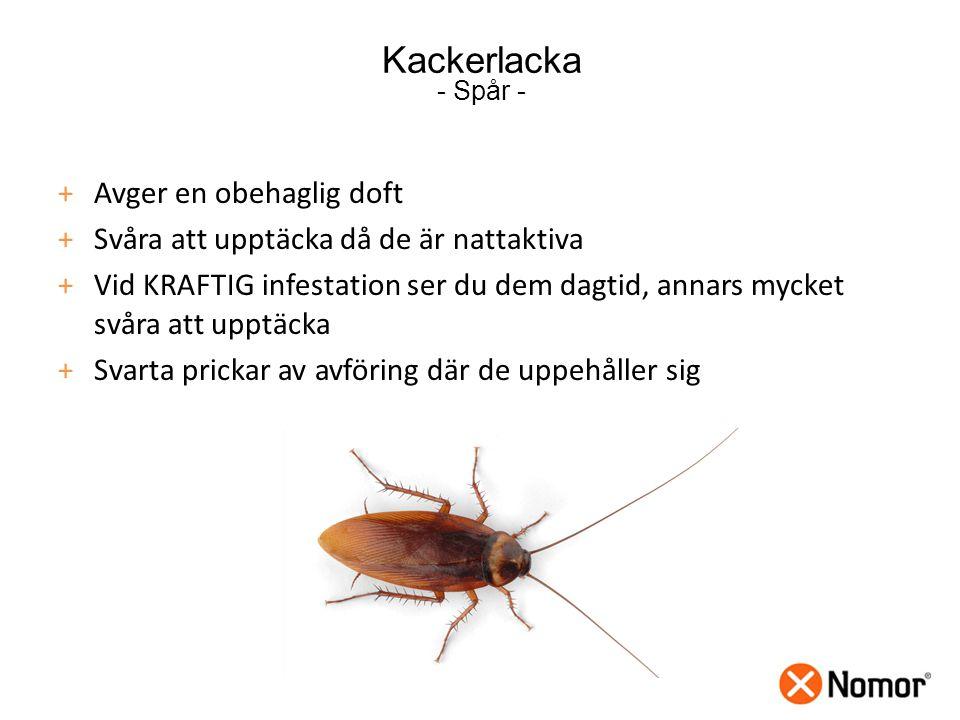 Kackerlacka - Spår - +Avger en obehaglig doft +Svåra att upptäcka då de är nattaktiva +Vid KRAFTIG infestation ser du dem dagtid, annars mycket svåra att upptäcka +Svarta prickar av avföring där de uppehåller sig