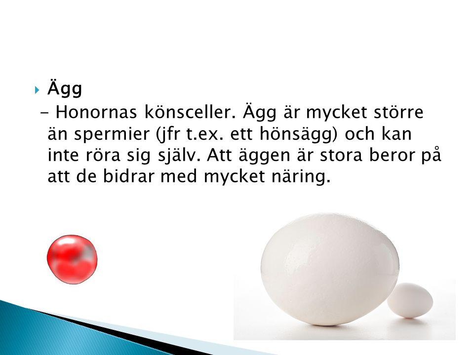  Ägg - Honornas könsceller. Ägg är mycket större än spermier (jfr t.ex. ett hönsägg) och kan inte röra sig själv. Att äggen är stora beror på att de