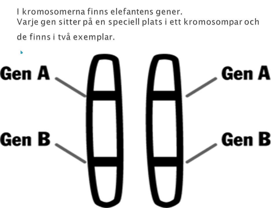 .. I kromosomerna finns elefantens gener.