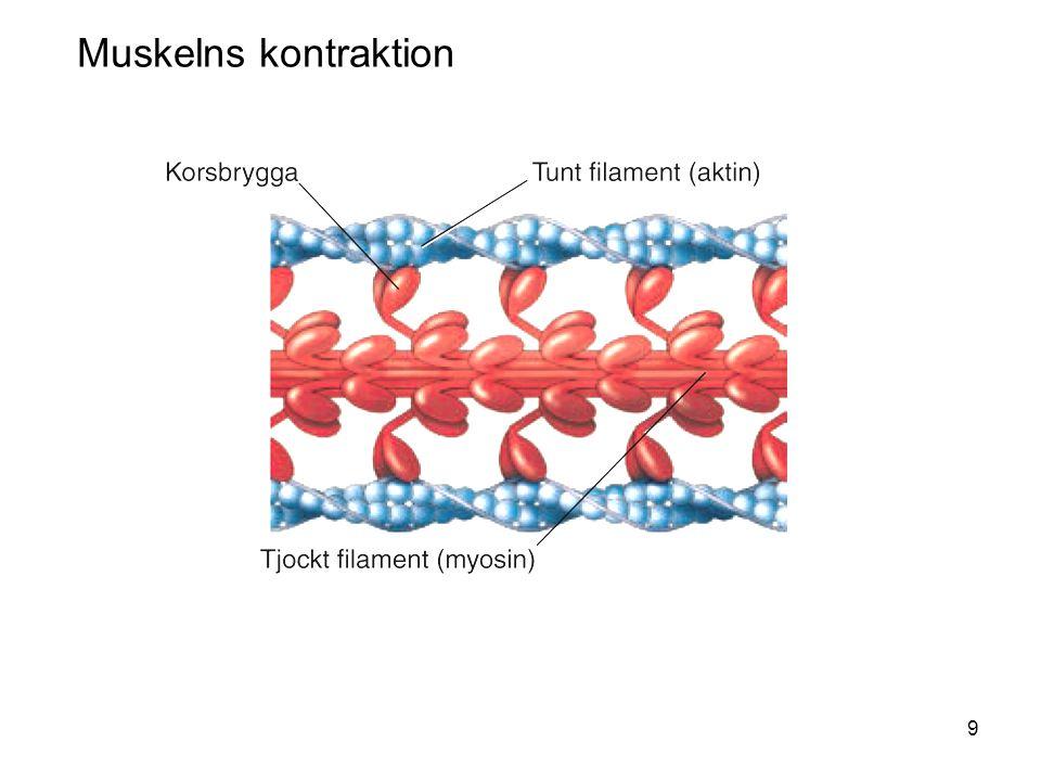 9 Muskelns kontraktion