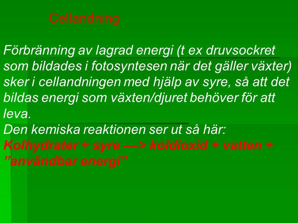Cellandning Förbränning av lagrad energi (t ex druvsockret som bildades i fotosyntesen när det gäller växter) sker i cellandningen med hjälp av syre,
