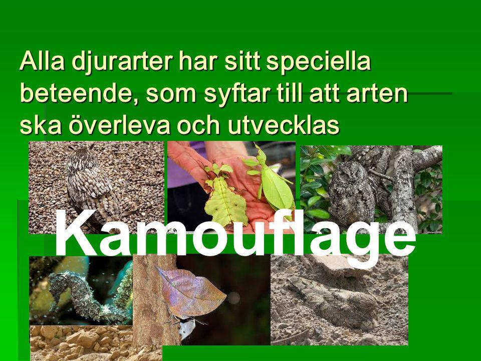 Alla djurarter har sitt speciella beteende, som syftar till att arten ska överleva och utvecklas. Kamouflage