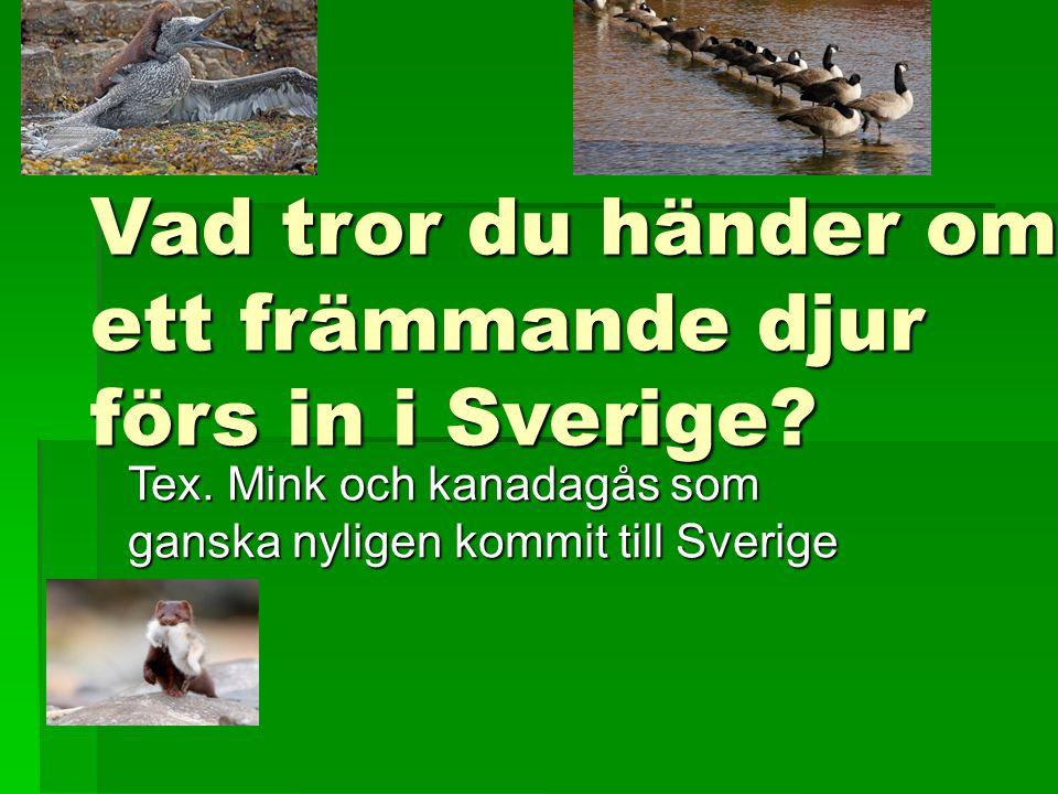 Vad tror du händer om ett främmande djur förs in i Sverige? Tex. Mink och kanadagås som ganska nyligen kommit till Sverige