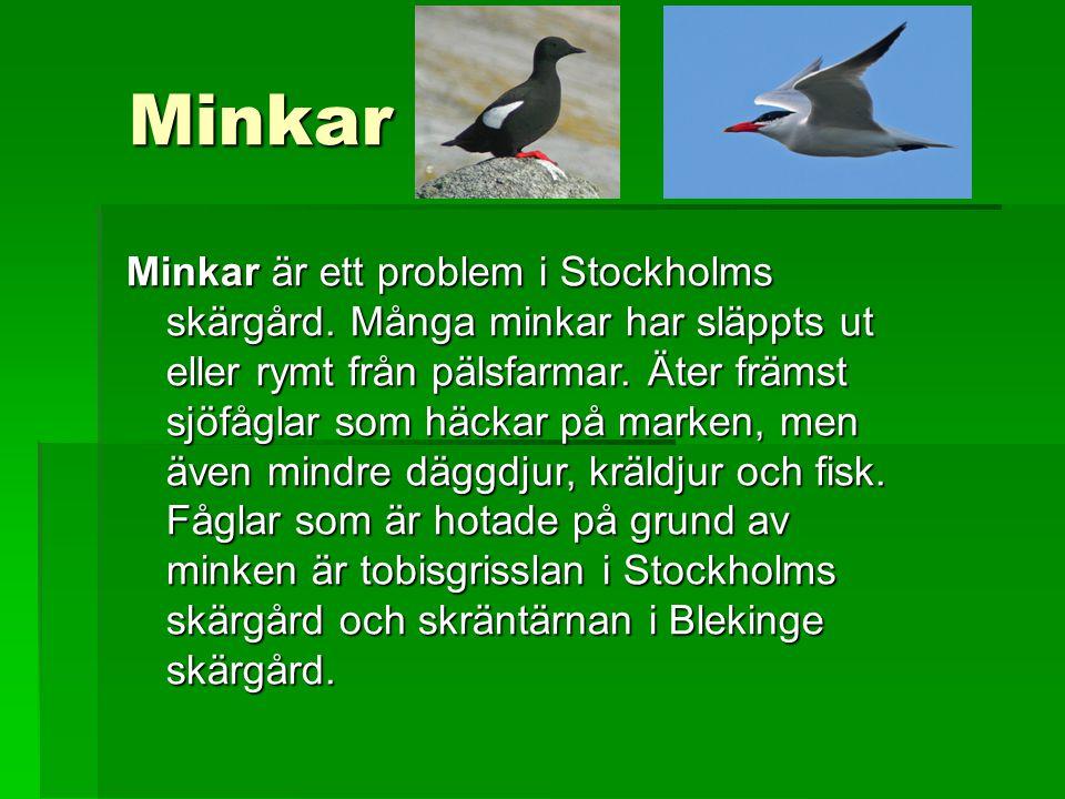 Minkar Minkar är ett problem i Stockholms skärgård. Många minkar har släppts ut eller rymt från pälsfarmar. Äter främst sjöfåglar som häckar på marken