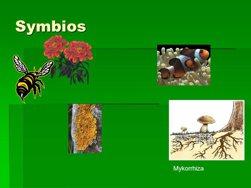 Symbios Mykorrhiza