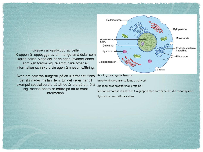 De viktigaste organellerna är 1mitokondrier som är cellernas kraftverk 2ribosomer som sätter ihop proteiner 3endoplasmatiska retiklet och Golgi-appara