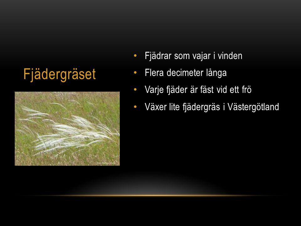 Fjädrar som vajar i vinden Flera decimeter långa Varje fjäder är fäst vid ett frö Växer lite fjädergräs i Västergötland Fjädergräset