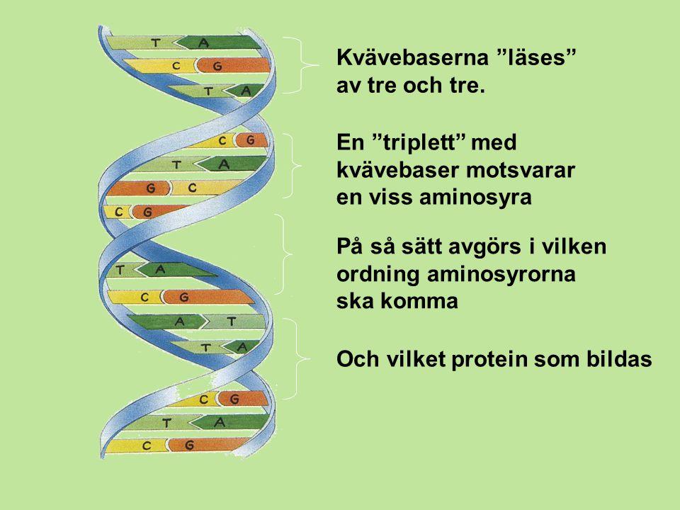 """Kvävebaserna """"läses"""" av tre och tre. En """"triplett"""" med kvävebaser motsvarar en viss aminosyra På så sätt avgörs i vilken ordning aminosyrorna ska komm"""