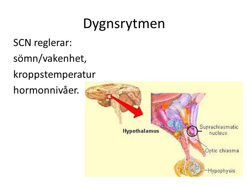 Dygnsrytmen SCN reglerar: sömn/vakenhet, kroppstemperatur hormonnivåer.