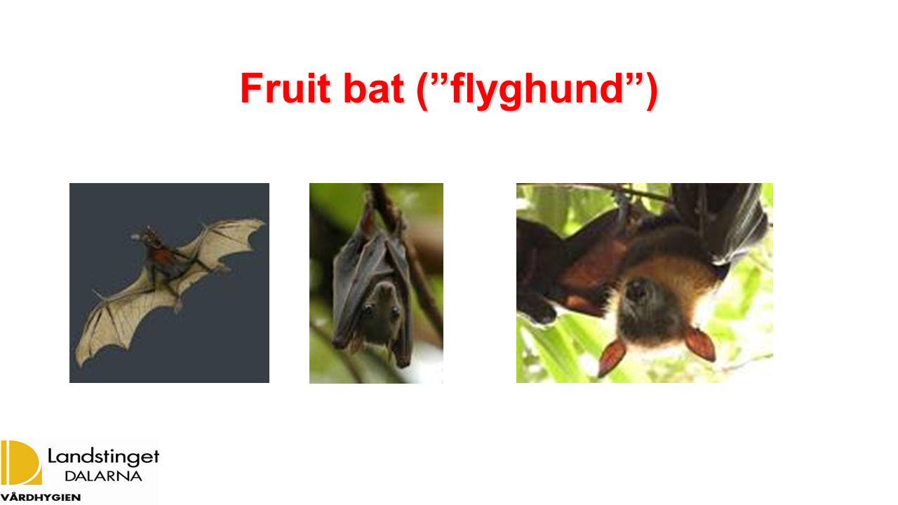 "Fruit bat (""flyghund"")"