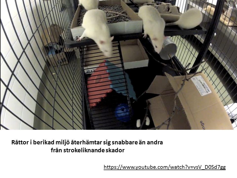 https://www.youtube.com/watch?v=vsV_D0Sd7gg Råttor i berikad miljö återhämtar sig snabbare än andra från strokeliknande skador