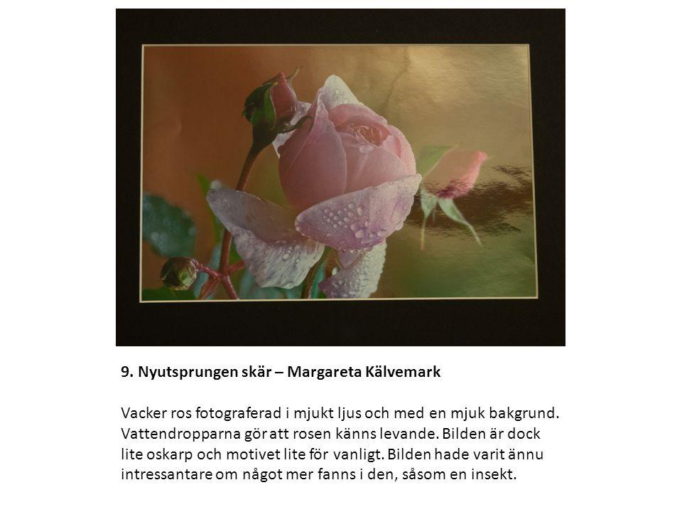 9. Nyutsprungen skär – Margareta Kälvemark Vacker ros fotograferad i mjukt ljus och med en mjuk bakgrund. Vattendropparna gör att rosen känns levande.