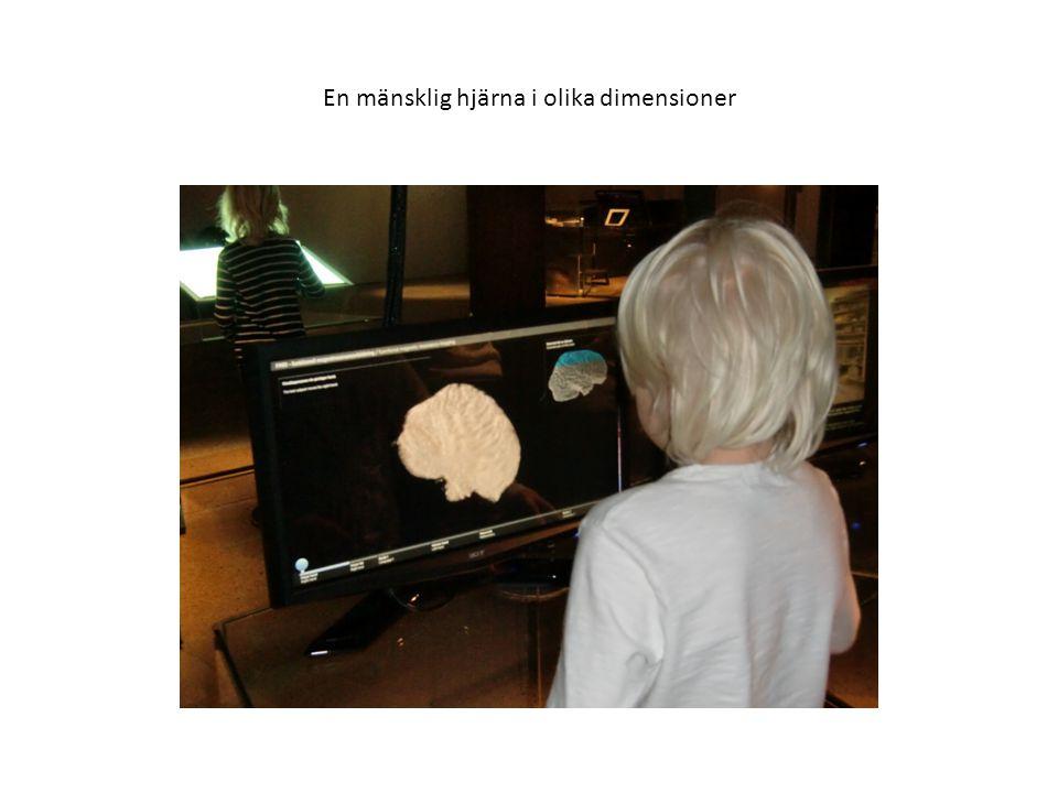 En mänsklig hjärna i olika dimensioner