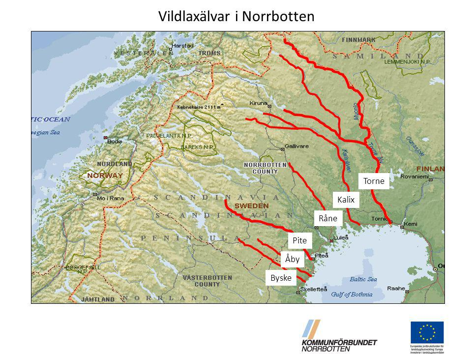 Vildlaxälvar i Norrbotten Pite Råne Åby Byske Kalix Torne