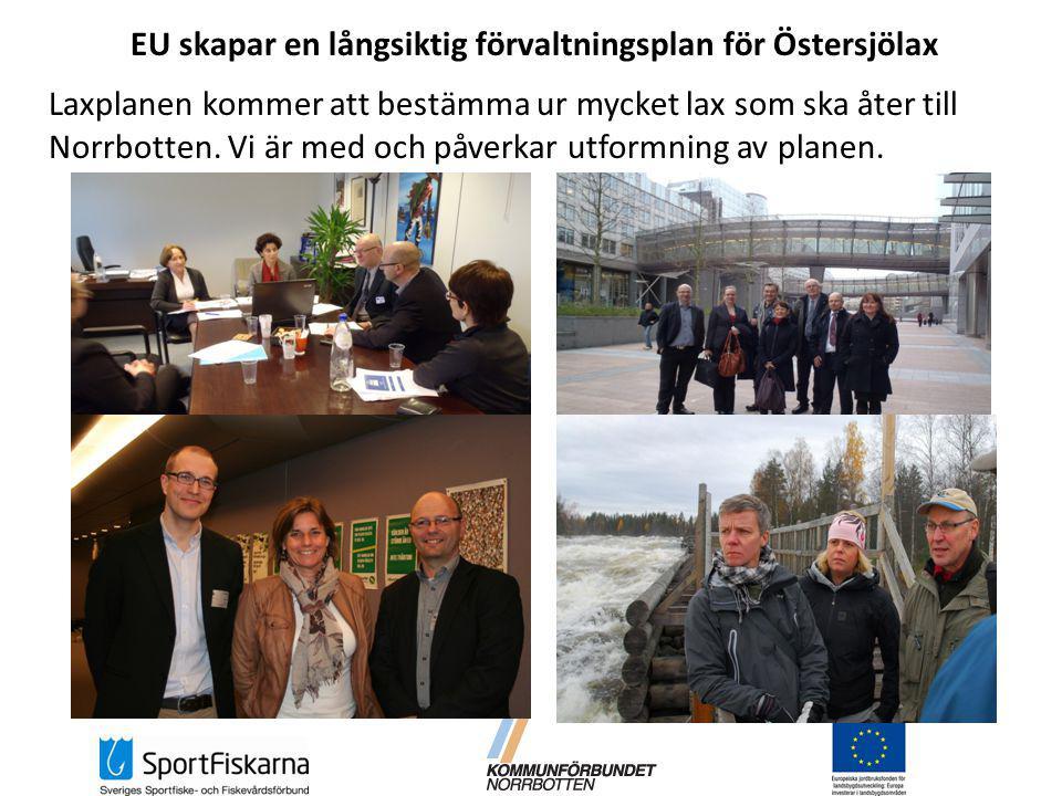 EU skapar en långsiktig förvaltningsplan för Östersjölax Laxplanen kommer att bestämma ur mycket lax som ska åter till Norrbotten.