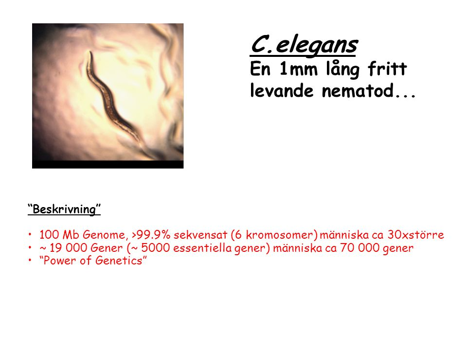 Beskrivning 100 Mb Genome, >99.9% sekvensat (6 kromosomer) människa ca 30xstörre ~ 19 000 Gener (~ 5000 essentiella gener) människa ca 70 000 gener Power of Genetics C.elegans En 1mm lång fritt levande nematod...