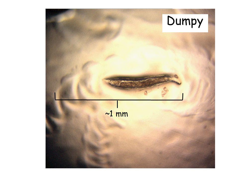 ~1 mm Dumpy