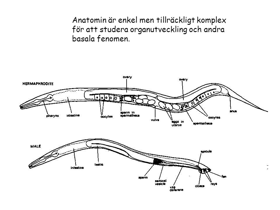 Beskrivning ~ 50 timmars livscykel (ägg till ägg; hermaphrodite och hanar ca 1%) Lätt att odla på plattor med E.coli vid 20 o C Går att frysa för långtids förvaring C.elegans En 1mm lång fritt levande nematod...