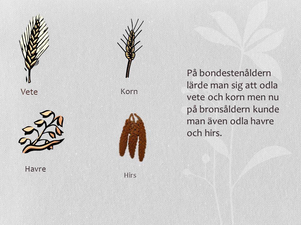 Vete På bondestenåldern lärde man sig att odla vete och korn men nu på bronsåldern kunde man även odla havre och hirs. Korn Havre Hirs