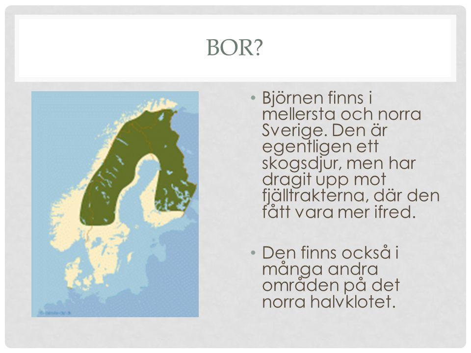 BOR? Björnen finns i mellersta och norra Sverige. Den är egentligen ett skogsdjur, men har dragit upp mot fjälltrakterna, där den fått vara mer ifred.