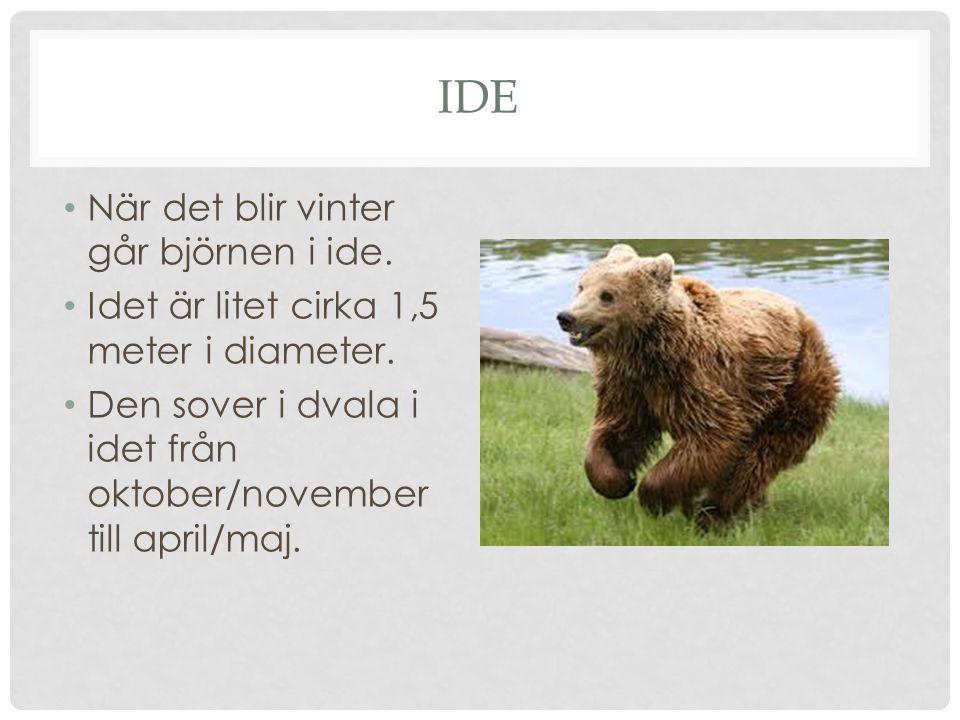 IDE När det blir vinter går björnen i ide. Idet är litet cirka 1,5 meter i diameter. Den sover i dvala i idet från oktober/november till april/maj.