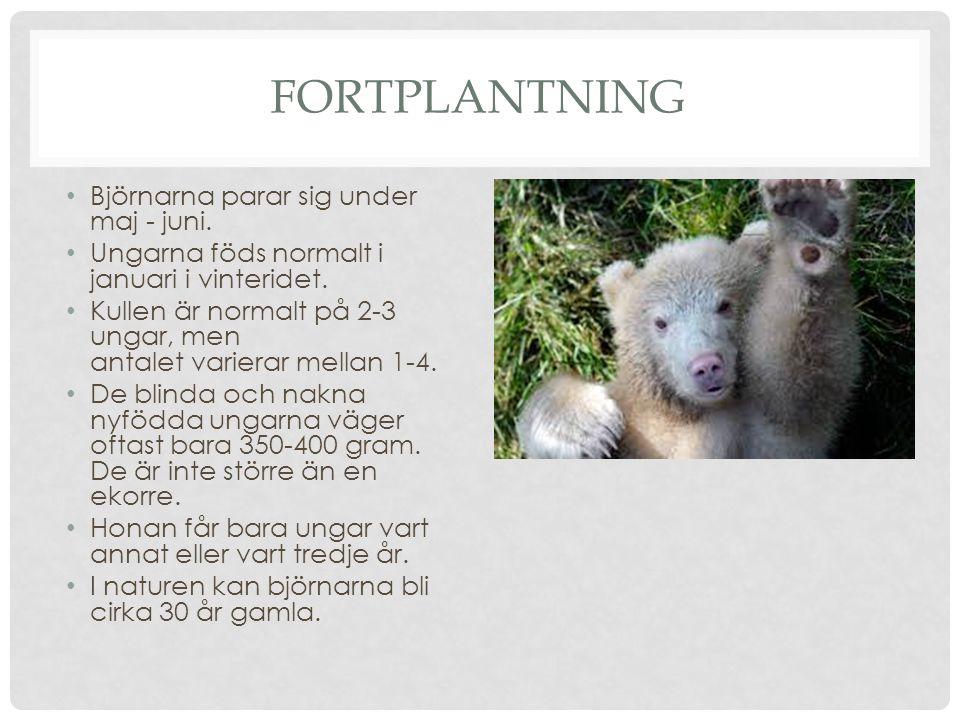 FORTPLANTNING Björnarna parar sig under maj - juni. Ungarna föds normalt i januari i vinteridet. Kullen är normalt på 2-3 ungar, men antalet varierar