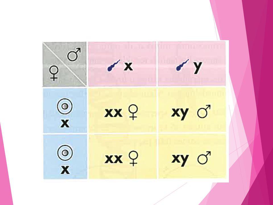 Dominanta och recessiva (vikande) gener  Gener förekommer i par.