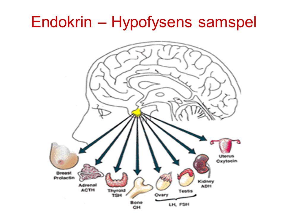 Endokrin – Hypofysens samspel