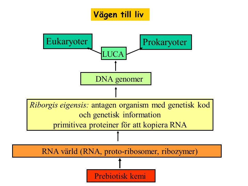 Prebiotisk kemi RNA värld (RNA, proto-ribosomer, ribozymer) Riborgis eigensis: antagen organism med genetisk kod och genetisk information primitivea proteiner för att kopiera RNA DNA genomer LUCA Eukaryoter Prokaryoter Vägen till liv
