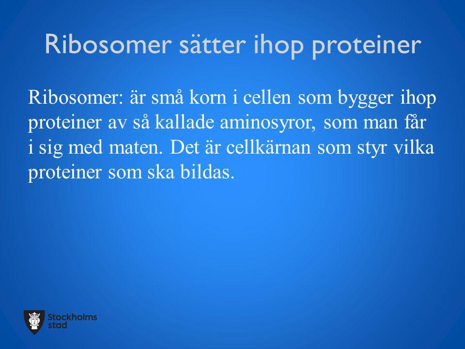 Ribosomer sätter ihop proteiner Ribosomer: är små korn i cellen som bygger ihop proteiner av så kallade aminosyror, som man får i sig med maten. Det ä