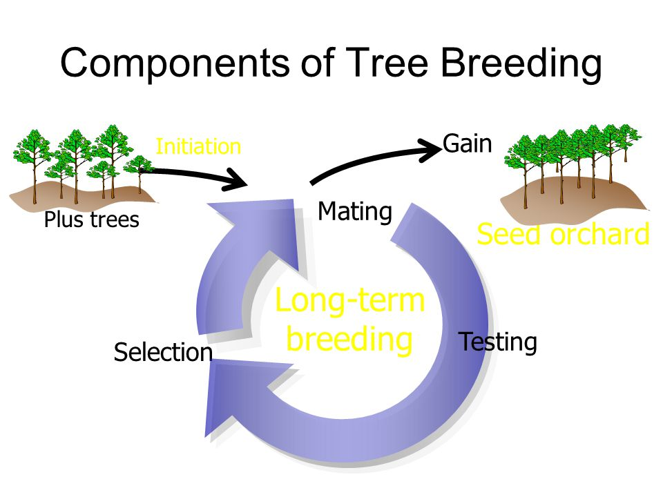 Components of Tree Breeding Plus trees Long-term breeding Selection Mating Gain Seed orchard Testing Initiation