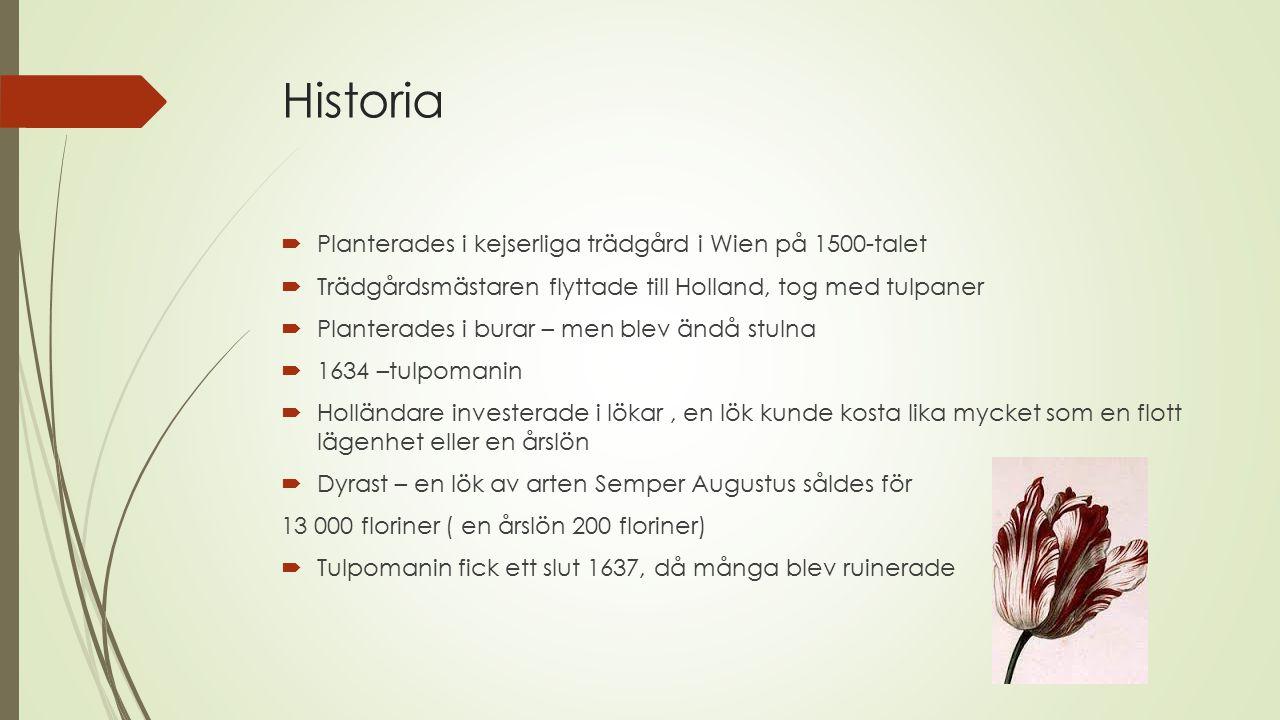 Historia  Planterades i kejserliga trädgård i Wien på 1500-talet  Trädgårdsmästaren flyttade till Holland, tog med tulpaner  Planterades i burar –