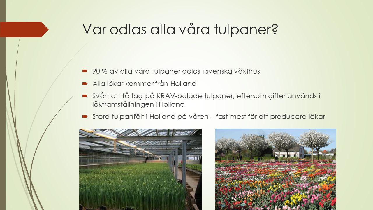 Var odlas alla våra tulpaner?  90 % av alla våra tulpaner odlas i svenska växthus  Alla lökar kommer från Holland  Svårt att få tag på KRAV-odlade