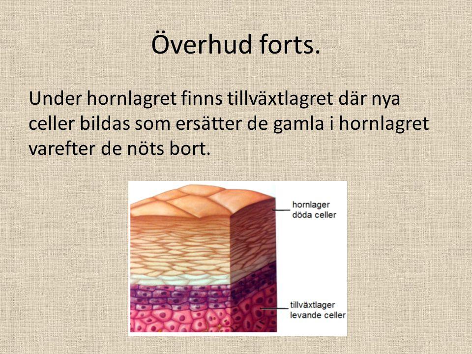Överhud forts. Under hornlagret finns tillväxtlagret där nya celler bildas som ersätter de gamla i hornlagret varefter de nöts bort.