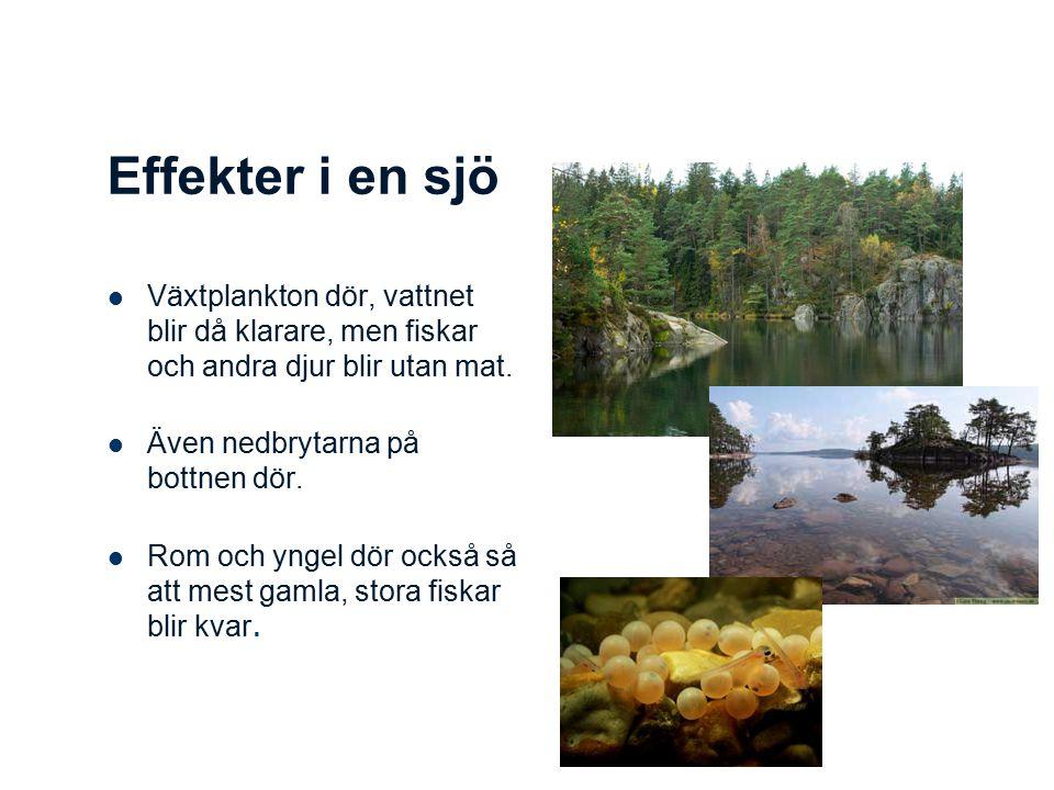 Effekter i en sjö Växtplankton dör, vattnet blir då klarare, men fiskar och andra djur blir utan mat. Även nedbrytarna på bottnen dör. Rom och yngel d