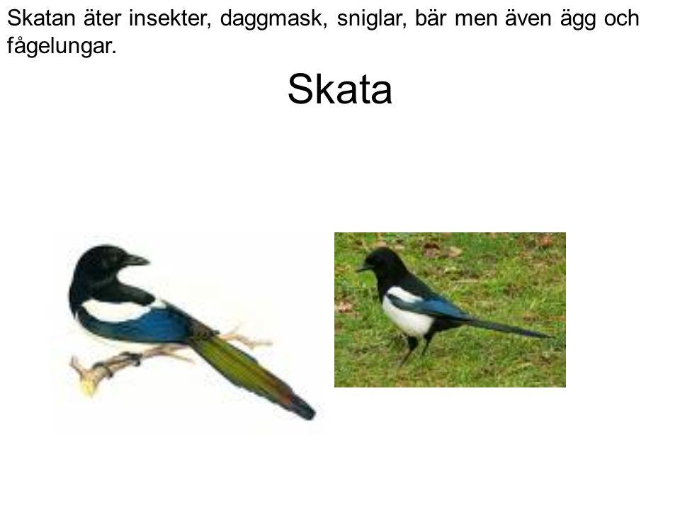 Skata Skatan äter insekter, daggmask, sniglar, bär men även ägg och fågelungar.