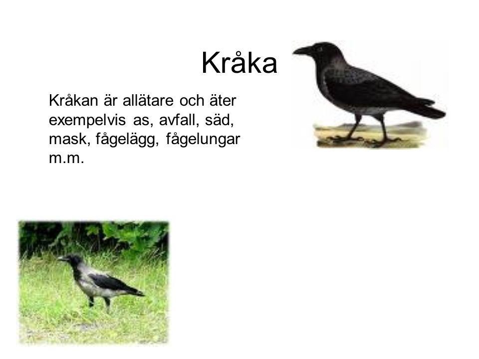 Kråka Kråkan är allätare och äter exempelvis as, avfall, säd, mask, fågelägg, fågelungar m.m.