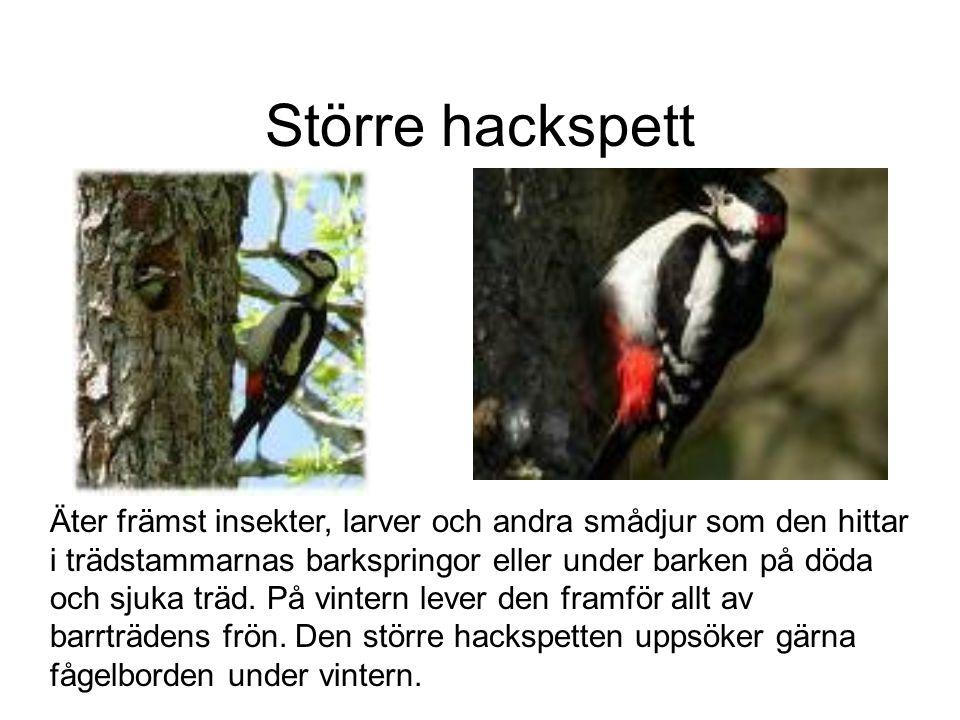 Större hackspett Äter främst insekter, larver och andra smådjur som den hittar i trädstammarnas barkspringor eller under barken på döda och sjuka träd.