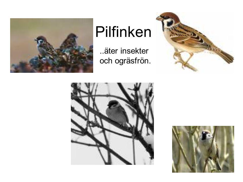 Pilfinken..äter insekter och ogräsfrön.