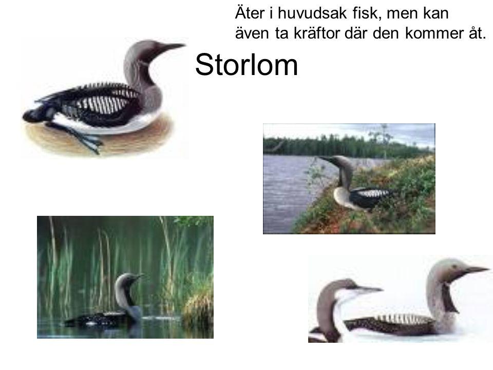 Storlom Äter i huvudsak fisk, men kan även ta kräftor där den kommer åt.